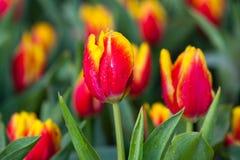 Orange Tulpen lizenzfreie stockfotografie