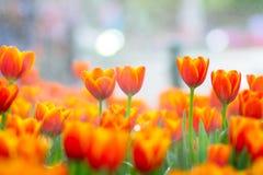 Orange Tulpen stockfotos