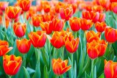 Orange Tulpen lizenzfreies stockbild