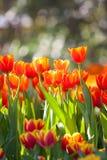 Orange Tulpen stockfotografie