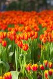 Orange Tulpen stockfoto