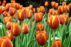 Orange Tulpen Lizenzfreie Stockbilder