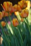 Orange Tulpen Stockbild