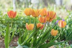Orange Tulpen blüht Nahaufnahme an einem sonnigen Tag lizenzfreie stockfotografie