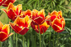 Orange Tulpen im Frühjahr stockbild