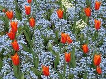 Orange Tulpen mit blauen Vergissmeinnichtblumen Lizenzfreie Stockbilder