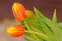 Orange Tulpen mit den gelben Tippblumenblättern Stockbild