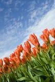 Orange Tulpen und blauer Himmel stockfotos