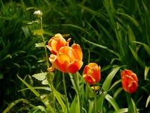Orange Tulpenblume Stockfotos