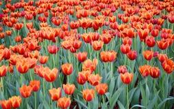 Orange Tulpenblume im Garten ist natürlicher Hintergrund lizenzfreie stockbilder