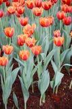 Orange Tulpenblume im Garten ist natürlicher Hintergrund stockfoto
