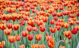 Orange Tulpenblume im Garten ist natürlicher Hintergrund stockfotos