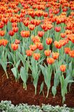 Orange Tulpenblume im Garten ist natürlicher Hintergrund lizenzfreies stockbild