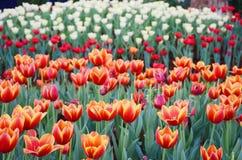 Orange Tulpenblume im Garten ist natürlicher Hintergrund lizenzfreies stockfoto