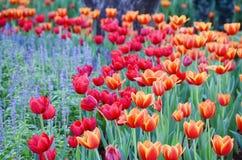 Orange Tulpenblume im Garten ist natürlicher Hintergrund lizenzfreie stockfotos