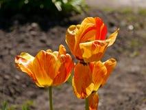 Orange Tulpenblumen Lizenzfreie Stockbilder