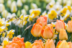 Orange Tulpenblumenbeet mit weißem Narzissenhintergrund im Park Stockfotografie