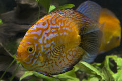 Orange Turquoise Discus Fish Royalty Free Stock Photos