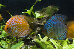 Orange Turquoise Discus Fishes Royalty Free Stock Photo