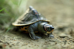 Orange turtle Royalty Free Stock Image