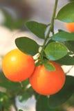 Orange two Stock Image