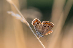 Orange u. blauer kleiner Schmetterling auf einem Blatt des trockenen Grases am Morgen stockfotos