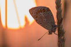 Orange und blauer Schmetterling auf einem Blatt-frühen Morgen mit Sun in t lizenzfreie stockbilder