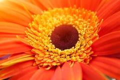 Orange und gelbe Blume Stockfotografie