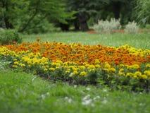 Orange und gelbe Blumen der Ringelblume - Stockfotos