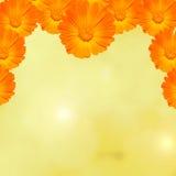 Orange und gelbe Calendula officinalis blüht (Ringelblume, ruddles, gemeine Ringelblume, Gartenringelblume), Beschaffenheitshinte Stockbild