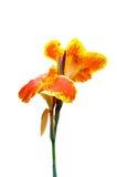 Orange und gelbe canna Lilie Stockfotos