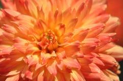 Orange und gelbe Dahlie Stockbild
