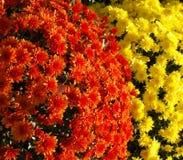 Orange und gelbe Mamas Lizenzfreie Stockfotos
