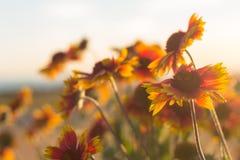 Orange und gelbe Sonnenblumen Lizenzfreies Stockfoto
