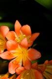 Orange und gelbe tropische Lilien Lizenzfreies Stockbild