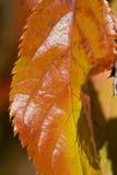 Orange und gelbes Herbst-Blatt Lizenzfreies Stockfoto