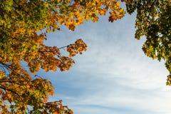 Orange und grüne Ahornblätter Stockfotografie