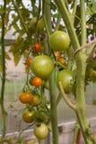 Orange und grüne Kirschtomaten auf der Niederlassung Lizenzfreie Stockbilder