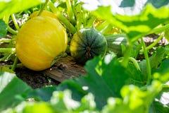 Orange und grünes pumkins Wachsen, Lebensmittel und Gemüse vom Bauernhof, vom Herbst, von der Danksagung und von der Ernte stockfoto