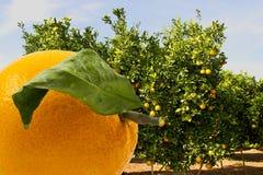 Orange und Orangenbäume im Hintergrund Stockfotos