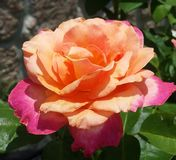 Orange und rosa Rose Stockbild