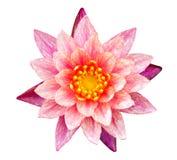 Orange und rosafarbene Wasserlilie Stockbild