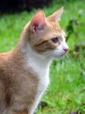 Orange und weiße Katze Stockbild