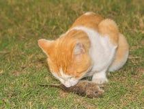 Orange und weiße Katze, die eine Maus isst Lizenzfreie Stockfotografie