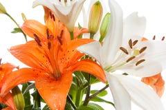 Orange und weiße Sterngucker-Lilien Stockbilder