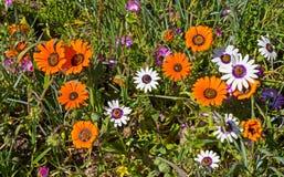 Orange und weiße wilde Gänseblümchen Stockfotografie