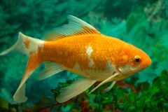 Orange und weißer Goldfisch im Wasser stockfotos