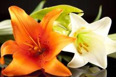 Orange und weißes Lillies Stockfotos