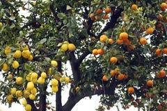 Orange und Zitrone Stockbilder