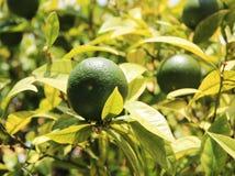 Orange. Unripe oranges on the tree Stock Images